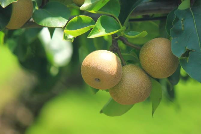梨の実が大きくなってきていました 市川市内にて