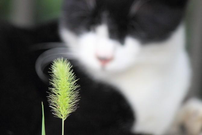 見つめられる猫じゃらし