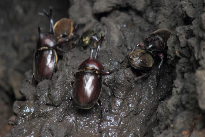 カブトムシの集まる樹 大町自然観察園にて