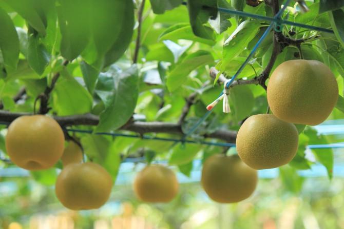 梨の出荷が始まっています