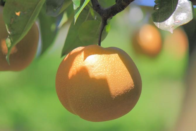 市川の梨もシーズン終盤