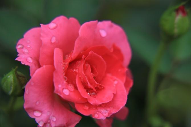 秋のバラが咲き始め 里見公園にて