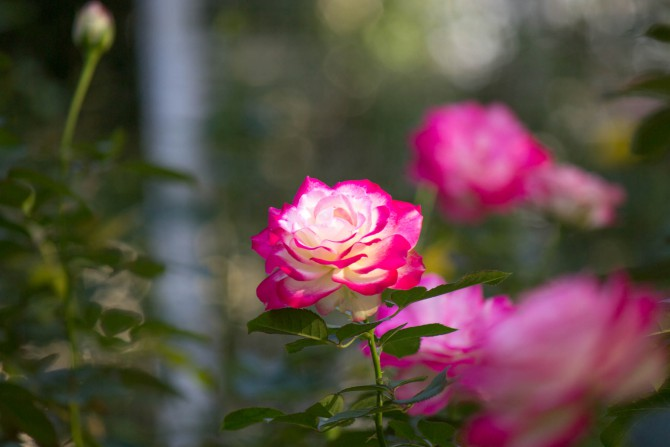 須和田公園の秋バラ
