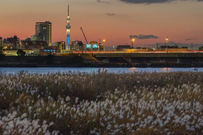 ススキと東京スカイツリー