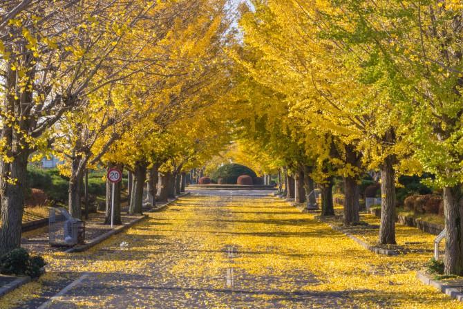 市川市霊園のイチョウの紅葉 散り始め