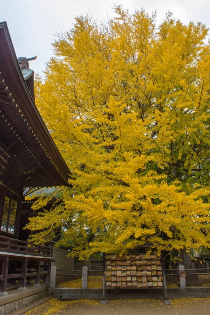葛飾八幡宮の千本公孫樹の紅葉が見ごろ 2013年12月6日(金)~8日(日)はライトアップも