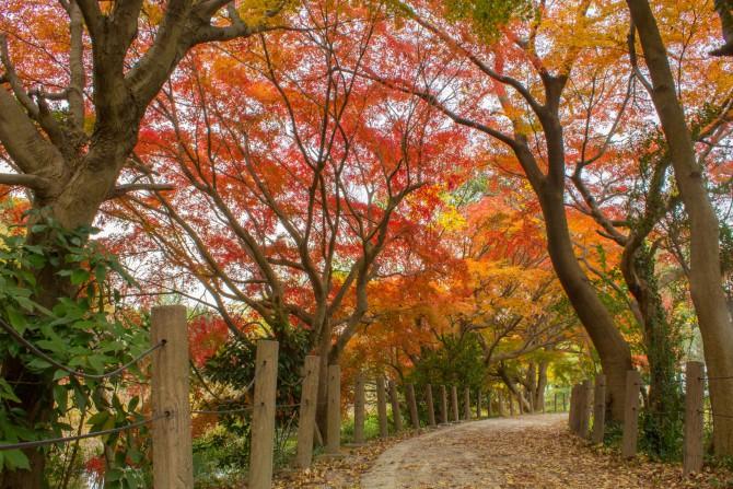 じゅん菜池緑地でモミジの紅葉が見ごろ