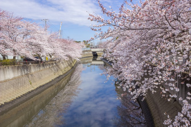 桜の開花予想 2014年