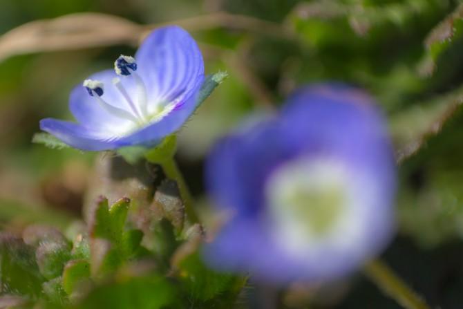 オオイヌノフグリが咲き始めていました 江戸川にて