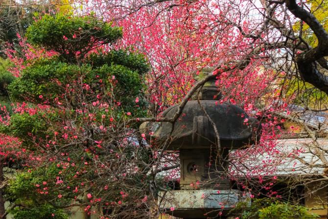 じゅん菜池緑地の梅の開花状況