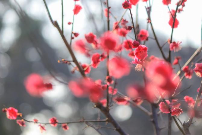 里見公園の梅の開花状況