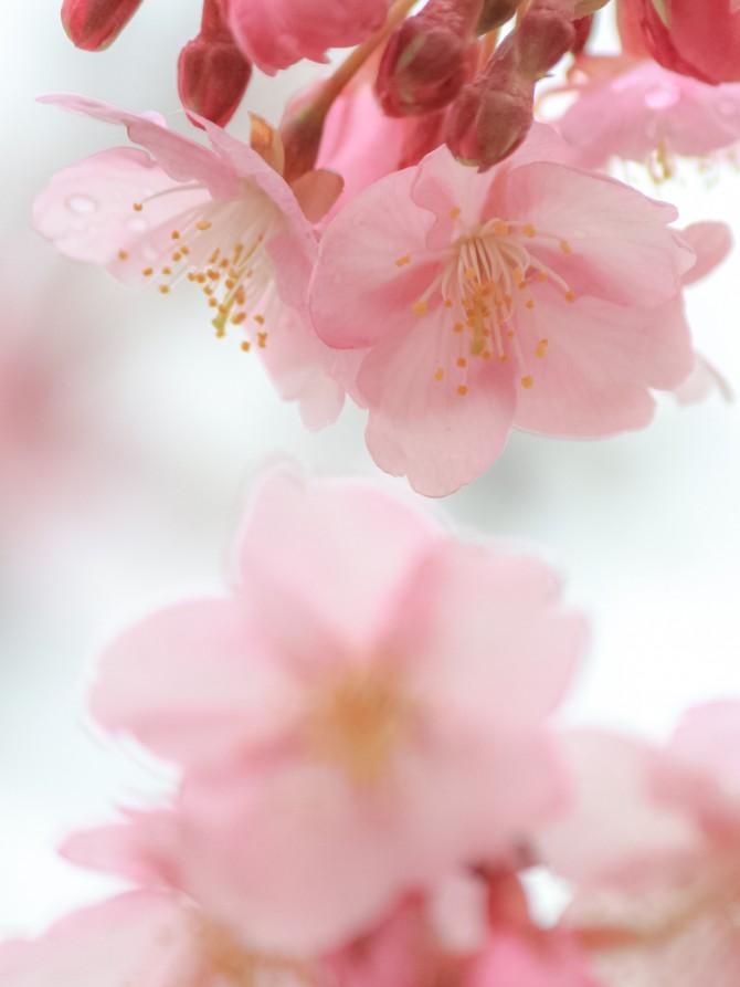 江戸川の河津桜並木の開花状況