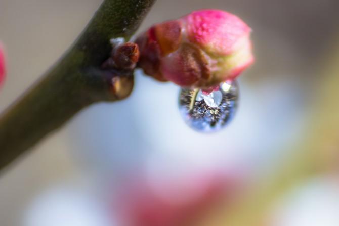 梅と水滴 里見公園にて
