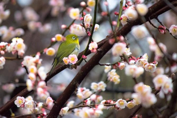 白梅とメジロ 2014年3月9日(日)は「梅祭り」 じゅん菜池緑地にて