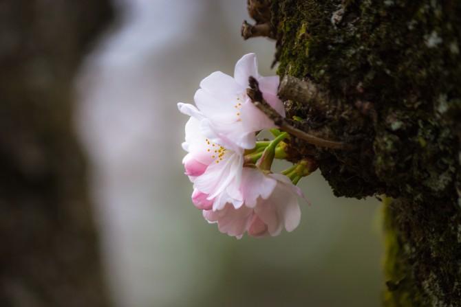 里見公園桜まつり 2014年3月29日(土)~4月13日(日)