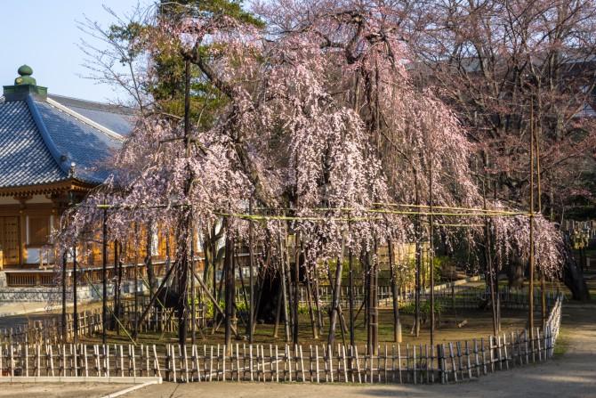 真間山弘法寺の枝垂桜「伏姫桜」 満開になる日も近そうです