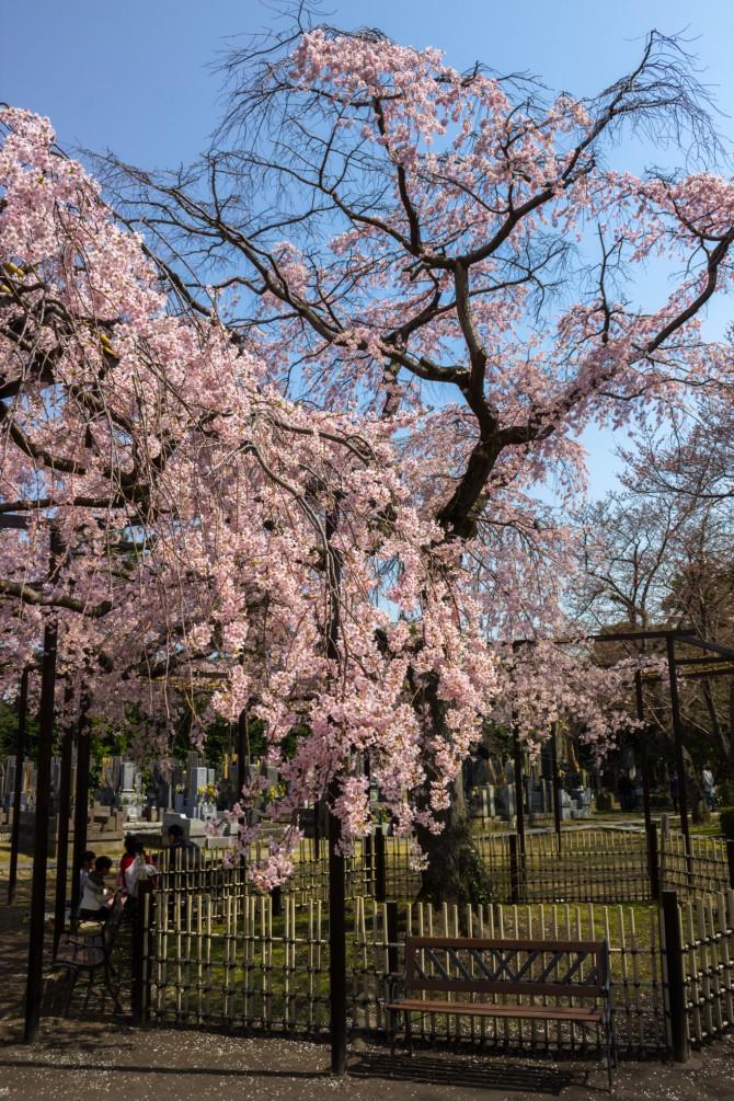 原木山妙行寺の枝垂桜 満開
