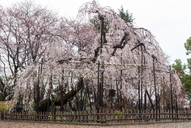 真間山弘法寺の枝垂桜「伏姫桜」が満開です