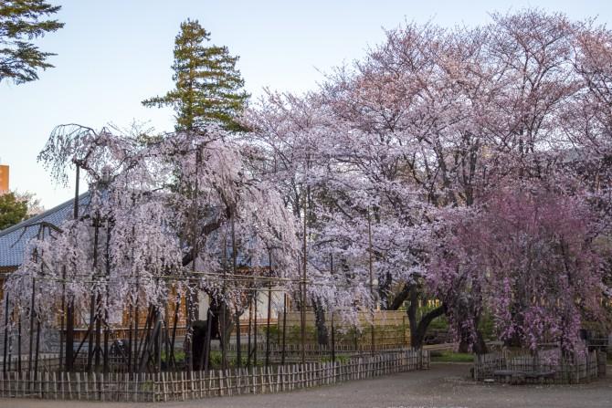 真間山弘法寺の桜の開花状況