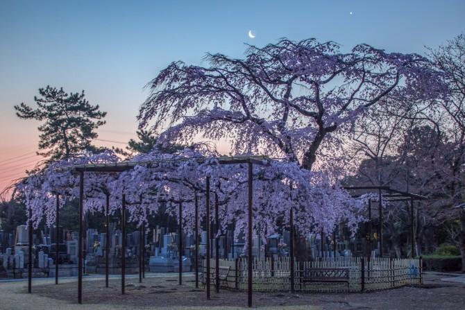 日の出前の枝垂桜 原木山妙行寺にて