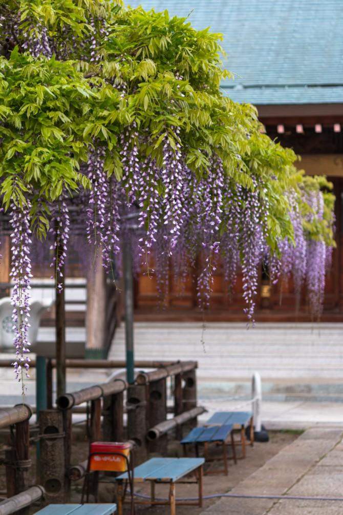 高圓寺の長寿藤 見ごろかと思われます
