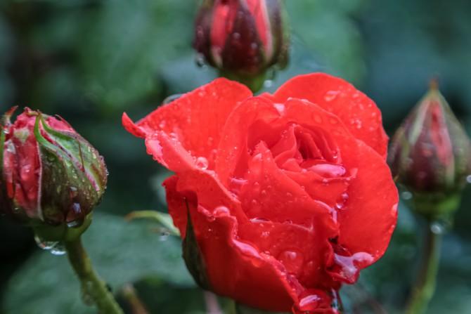 春のバラが咲き始めました 里見公園にて