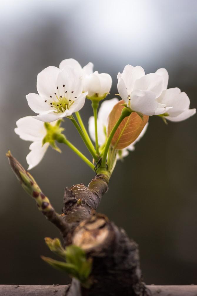 梨の花が咲きはじめました