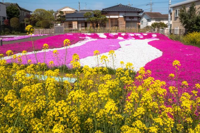 郭沫若記念館の芝桜と菜の花が見ごろ