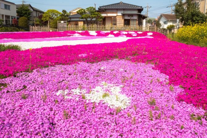 郭沫若記念館の芝桜 今週末も見ごろ