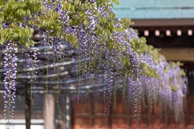 高圓寺の長寿藤の開花状況と藤まつり2014