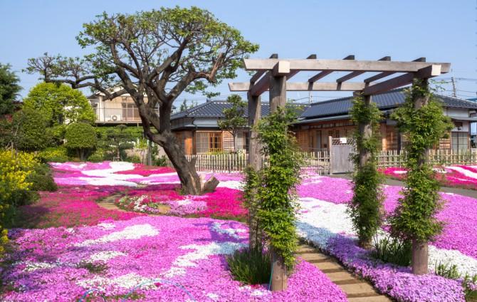 郭沫若記念館の芝桜 ピークは若干過ぎましたがまだまだ綺麗です