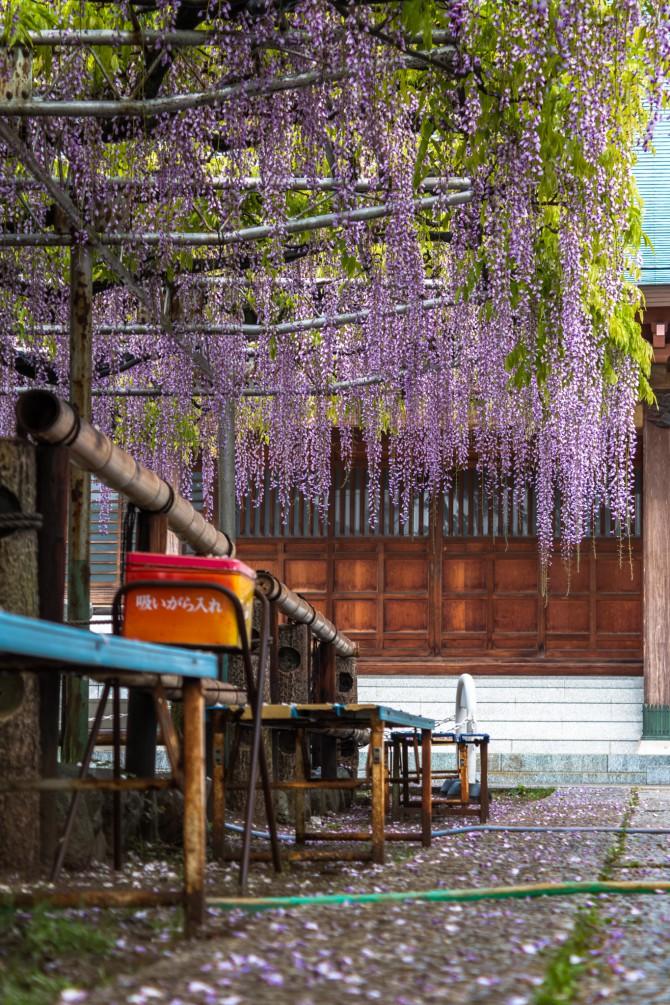高圓寺の長寿藤 わずかに散り始め