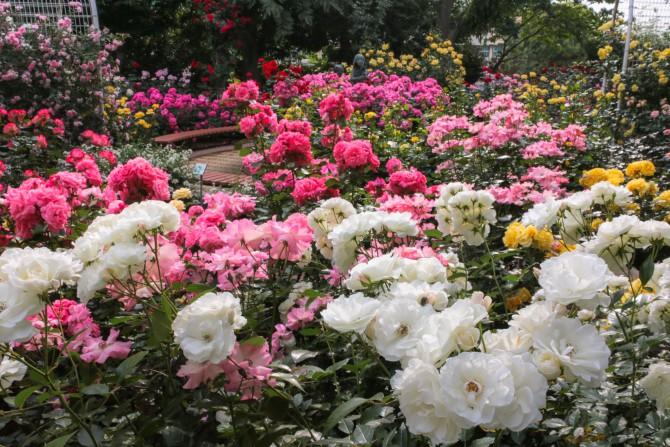 須和田公園のバラコーナーでもバラが見ごろ