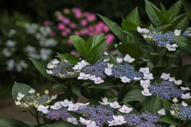 市川市動植物園入口~大町自然観察園のアジサイの開花状況