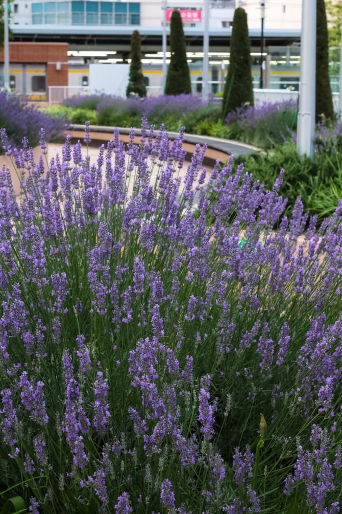 市川駅南口ペデストリアンデッキのラベンダーが今年も咲き始めました