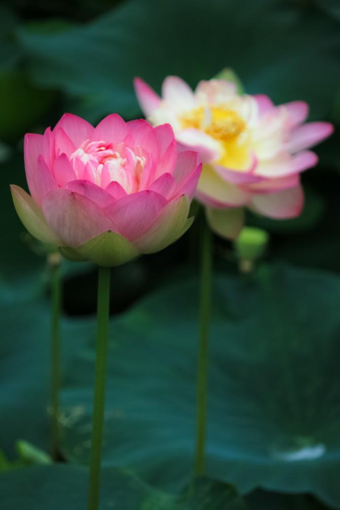 中山法華経寺のハスの花が徐々に増えてきています