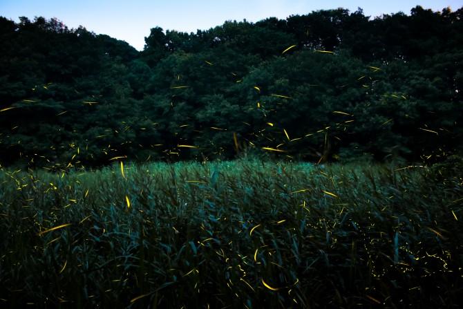 大町自然観察園「ホタル鑑賞会」 ヘイケボタルの光の跡