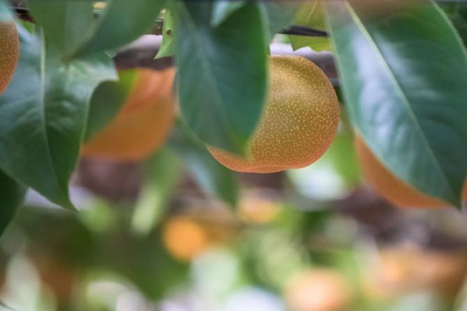 今年も梨の販売がスタート