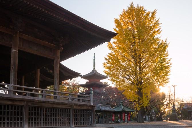 中山法華経寺 祖師堂前のイチョウの黄葉が見ごろ