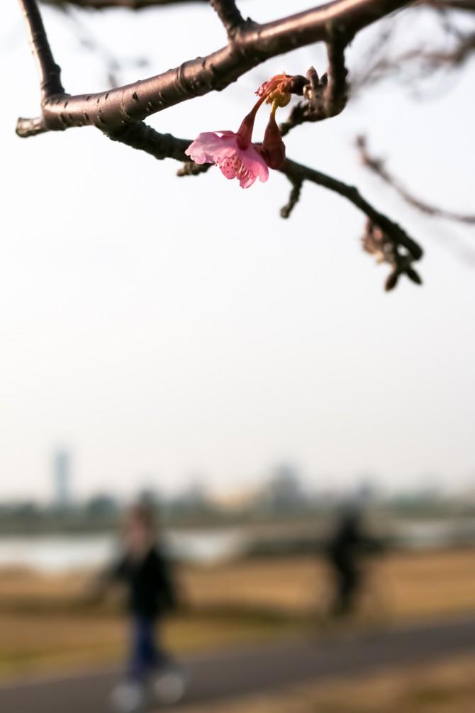 河津桜が咲き始め 江戸川の河津桜並木にて