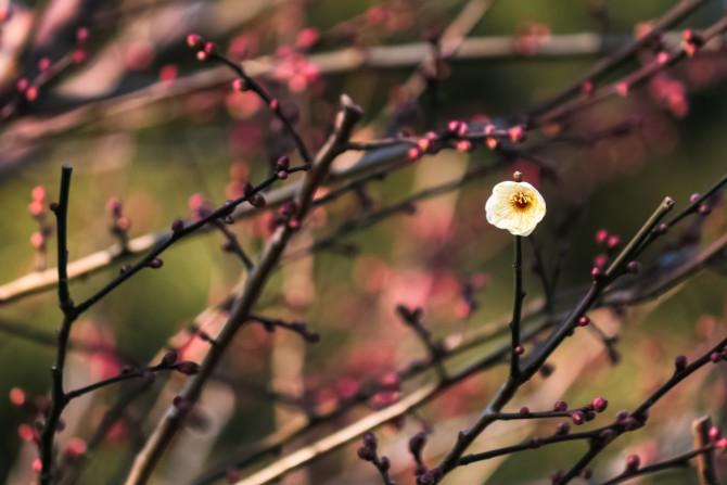 梅の花が咲き始めていました 里見公園にて