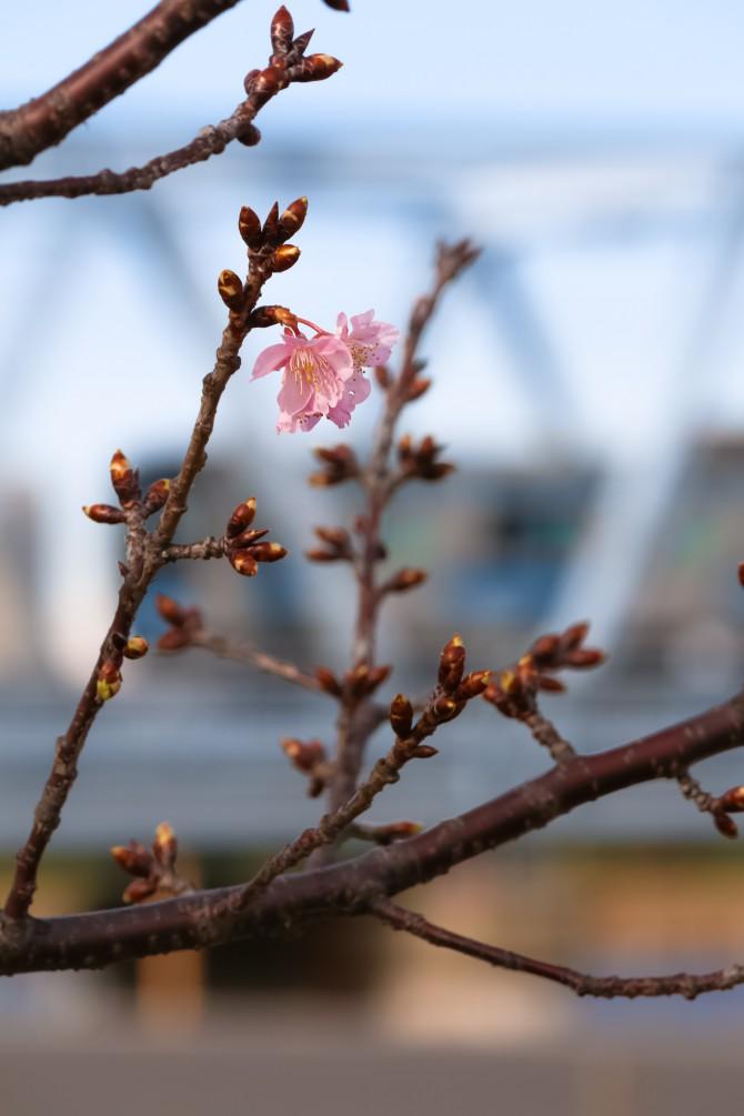 河津桜が妙典の江戸川沿いでも咲き始め