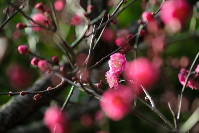 中山法華経寺で紅梅が咲き始め
