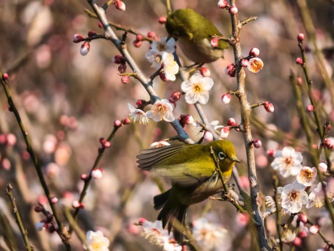 梅とメジロ じゅん菜池緑地にて