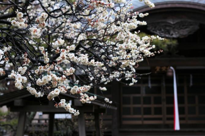 中山法華経寺 智泉院で見つけた梅の花
