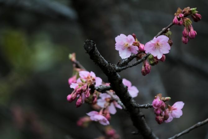 里見公園でも河津桜が咲き始め