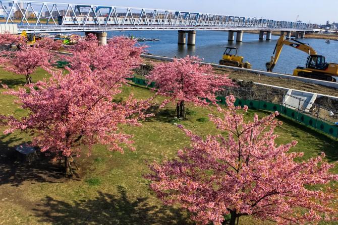 市川の桜スポット(2)「江戸川放水路(妙典)の河津桜並木」
