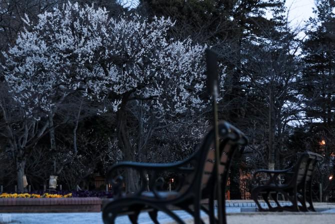 梅の花が増えてきました 里見公園にて