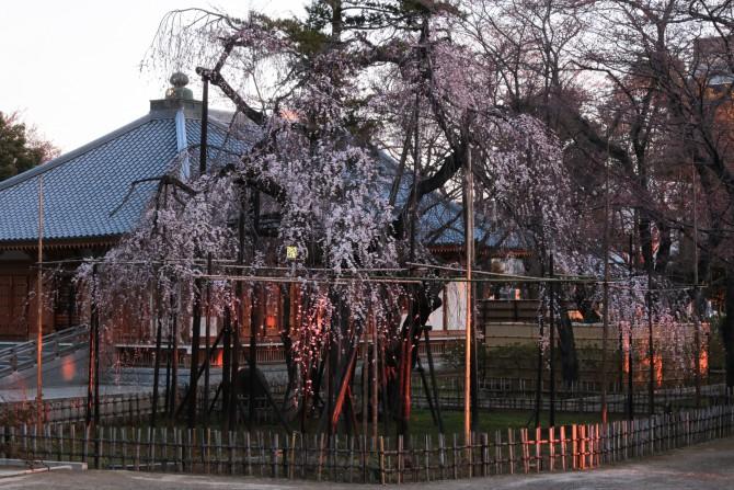 真間山弘法寺のしだれ桜「伏姫桜」の開花状況