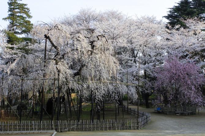 市川の桜スポット(4)「真間山弘法寺」